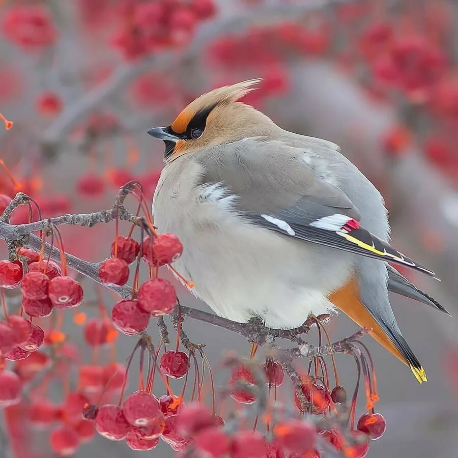 Картинки птички на рябине