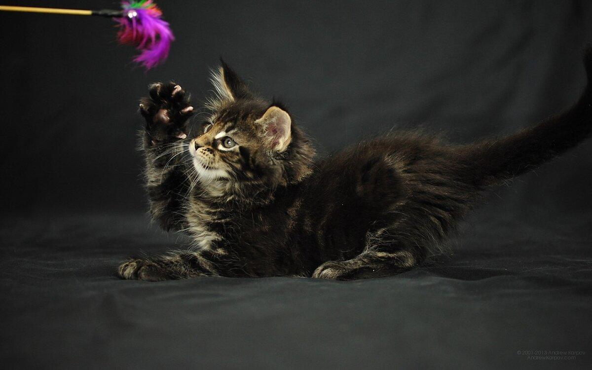 снять поздравления с кошками мейн-кун поиска