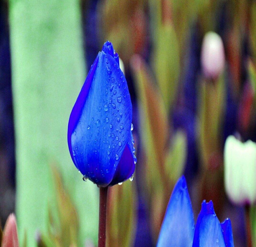 Картинки синий тюльпан