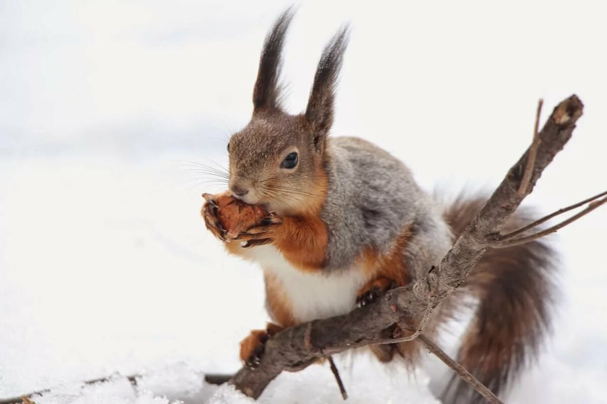 Картинки белка грызет орешки