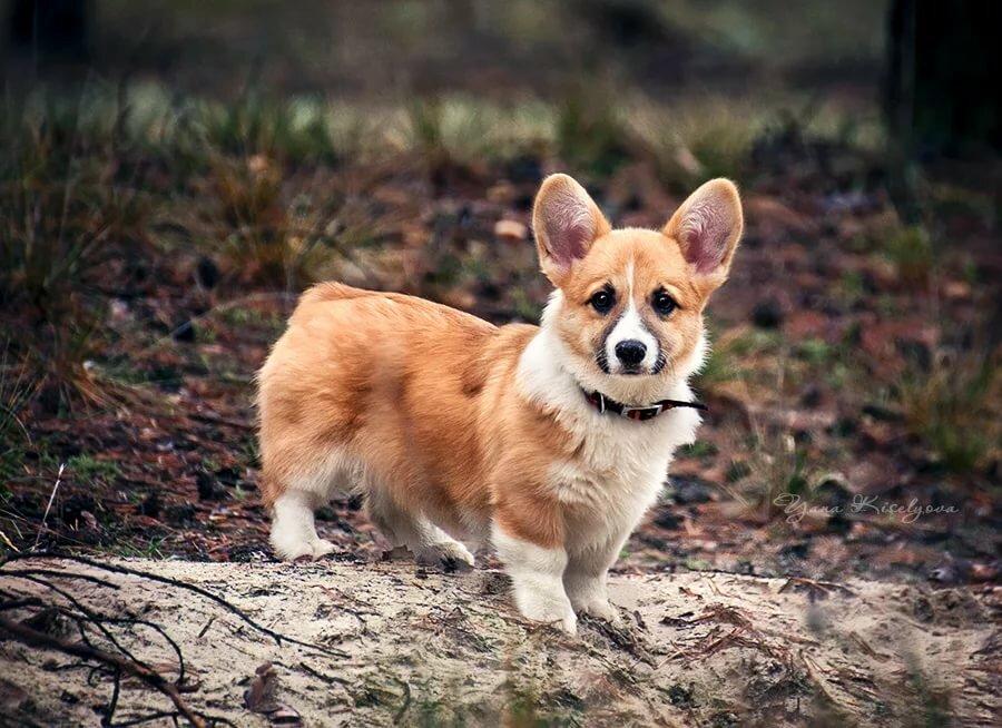 картинки щенка вельш корги камеры, сумки, батареи
