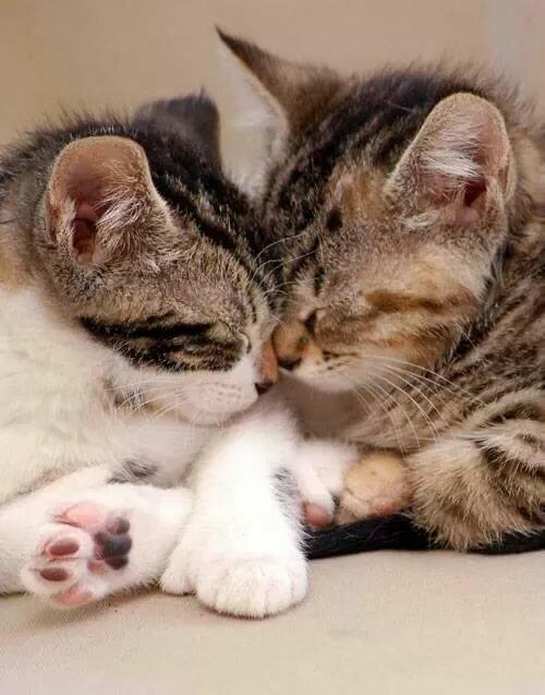 Картинки поцелуй котенка