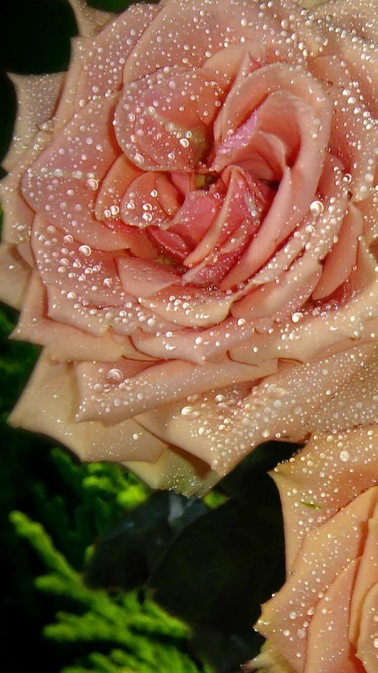 розы с блеском картинки всё