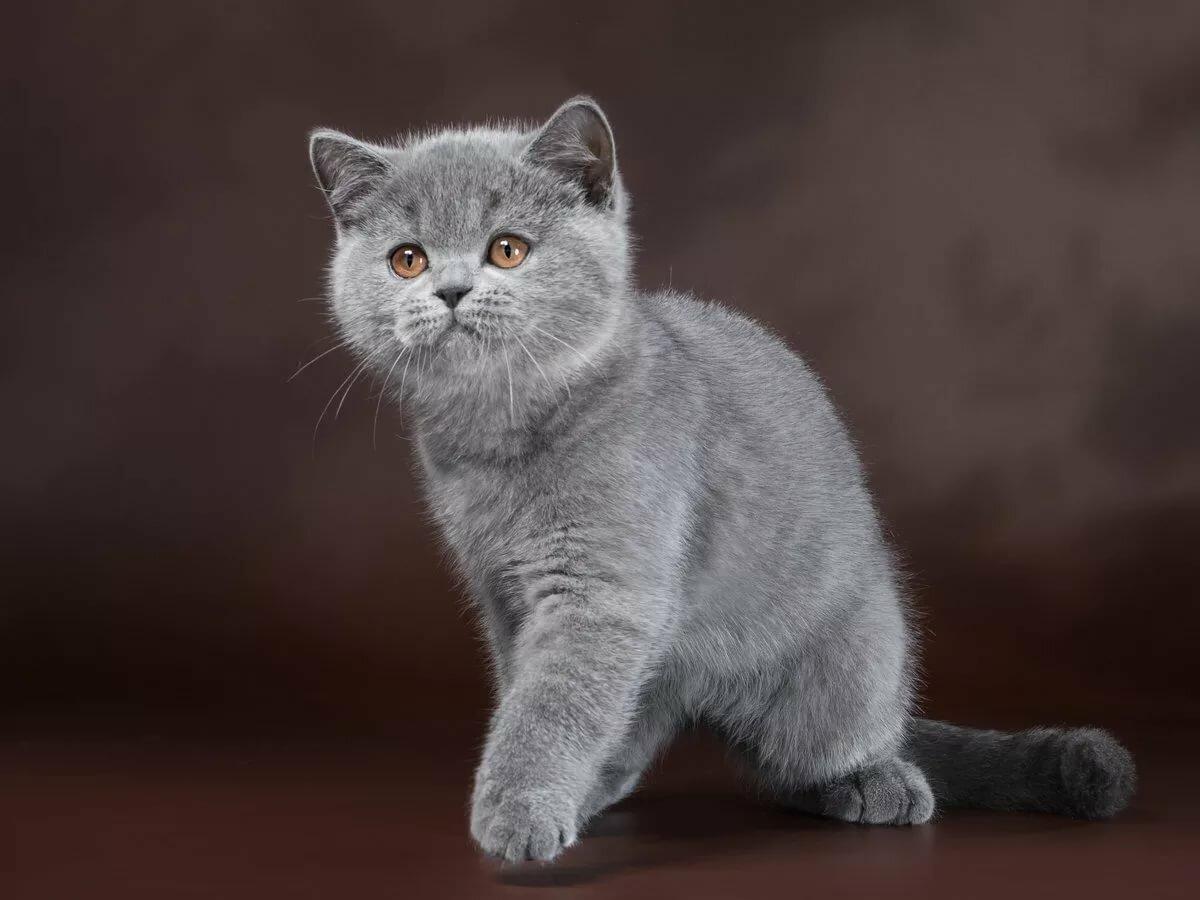 британские котята фото серые произошло открытой площадке