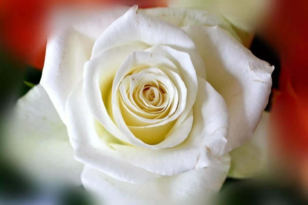 Белая розы фото