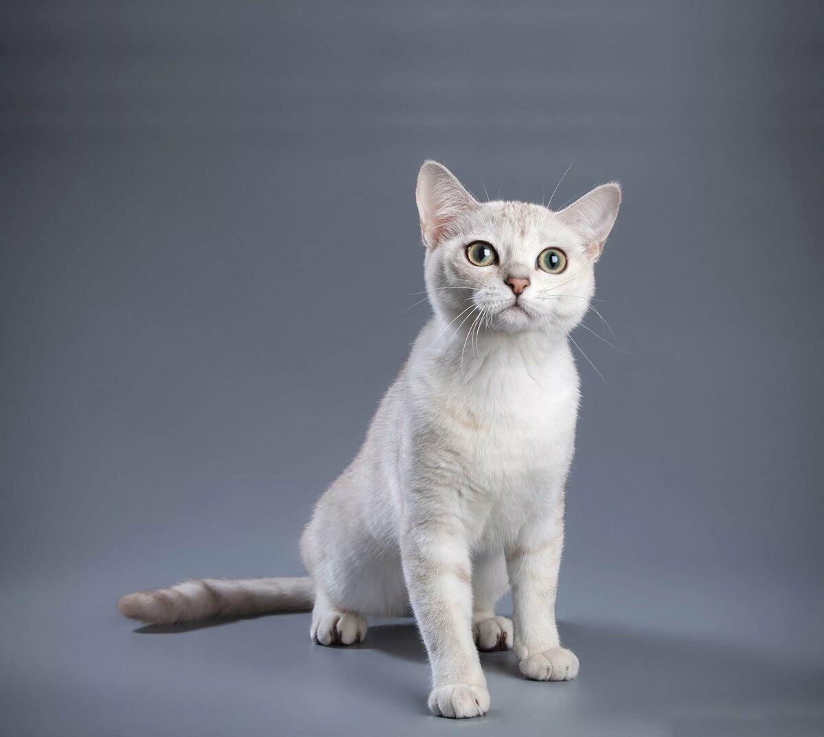 порода кошек бурмилла короткошерстная картинки призналась летучая, именно