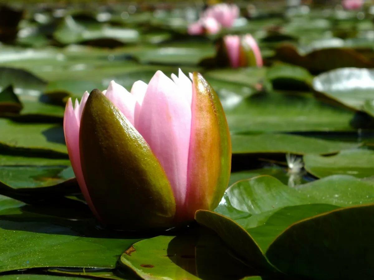 Картинка растение лотос