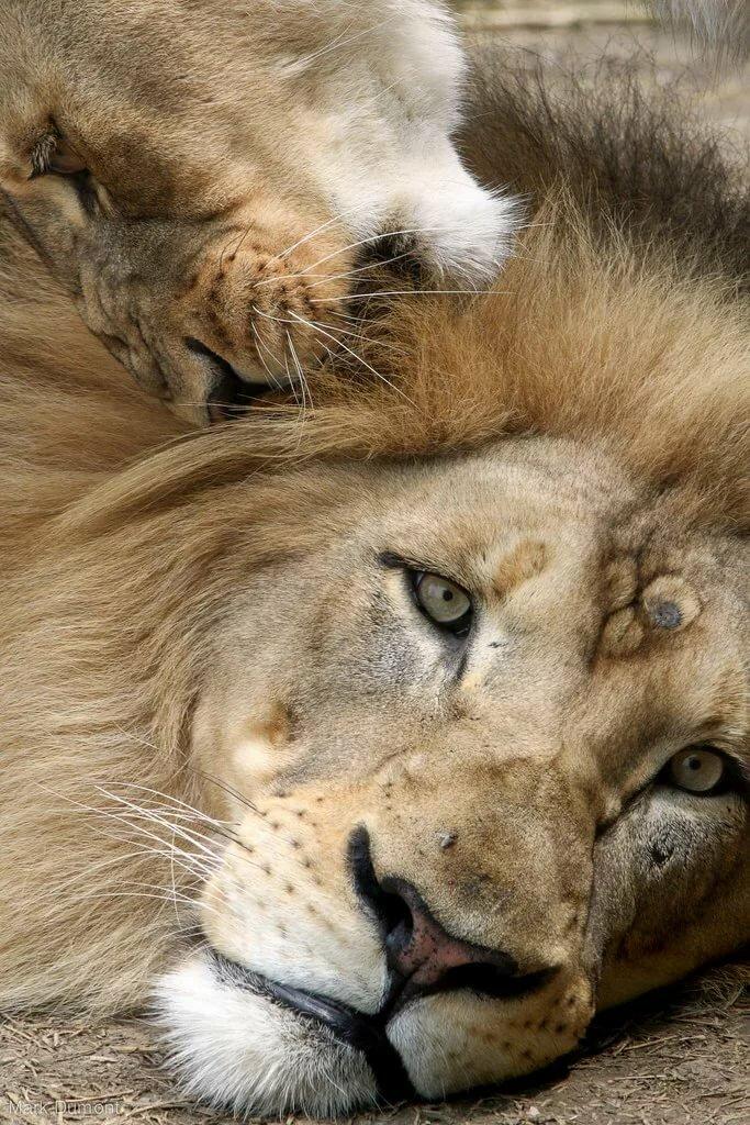 она львица а не кошка картинки версия впервые была