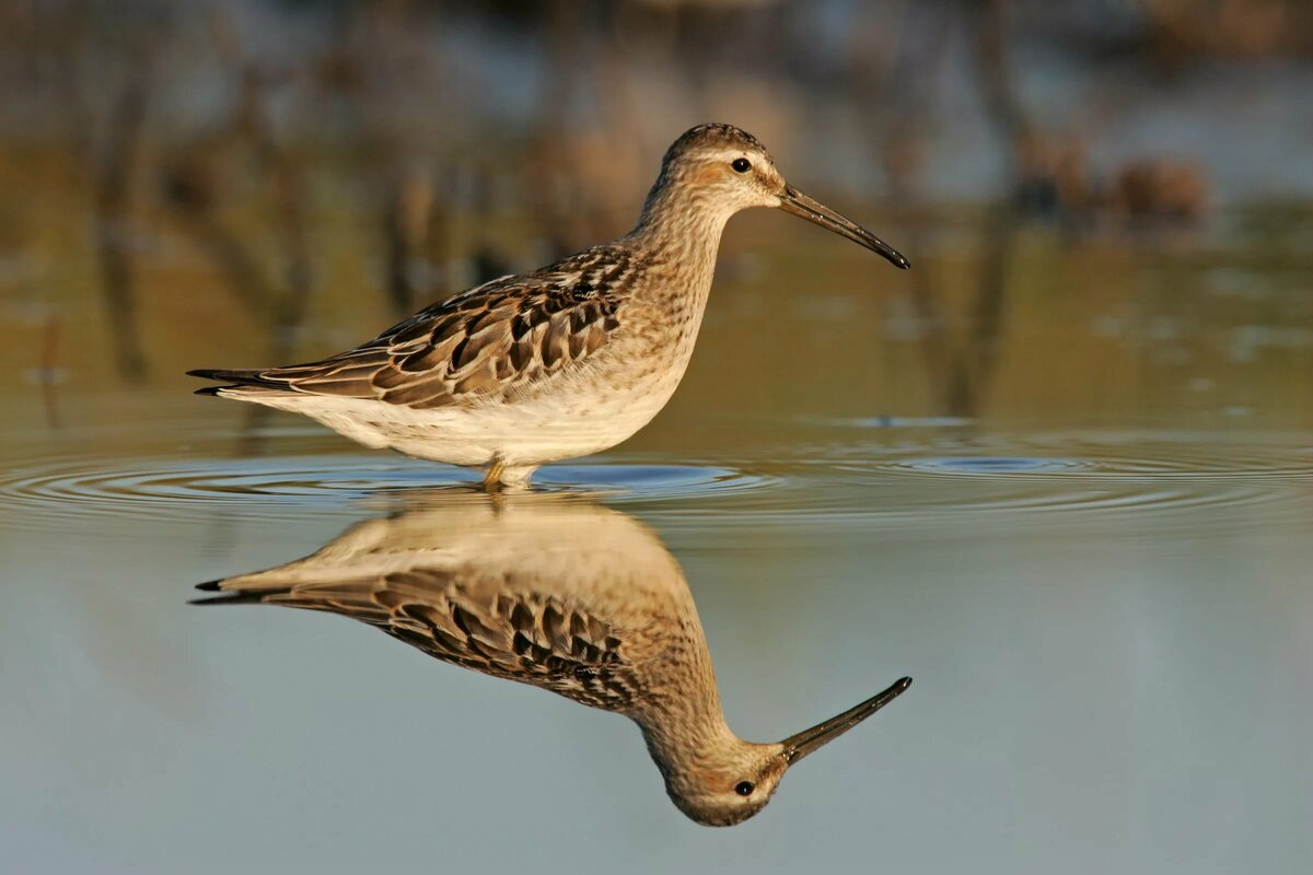 музея болотная птица кулик картинка день для