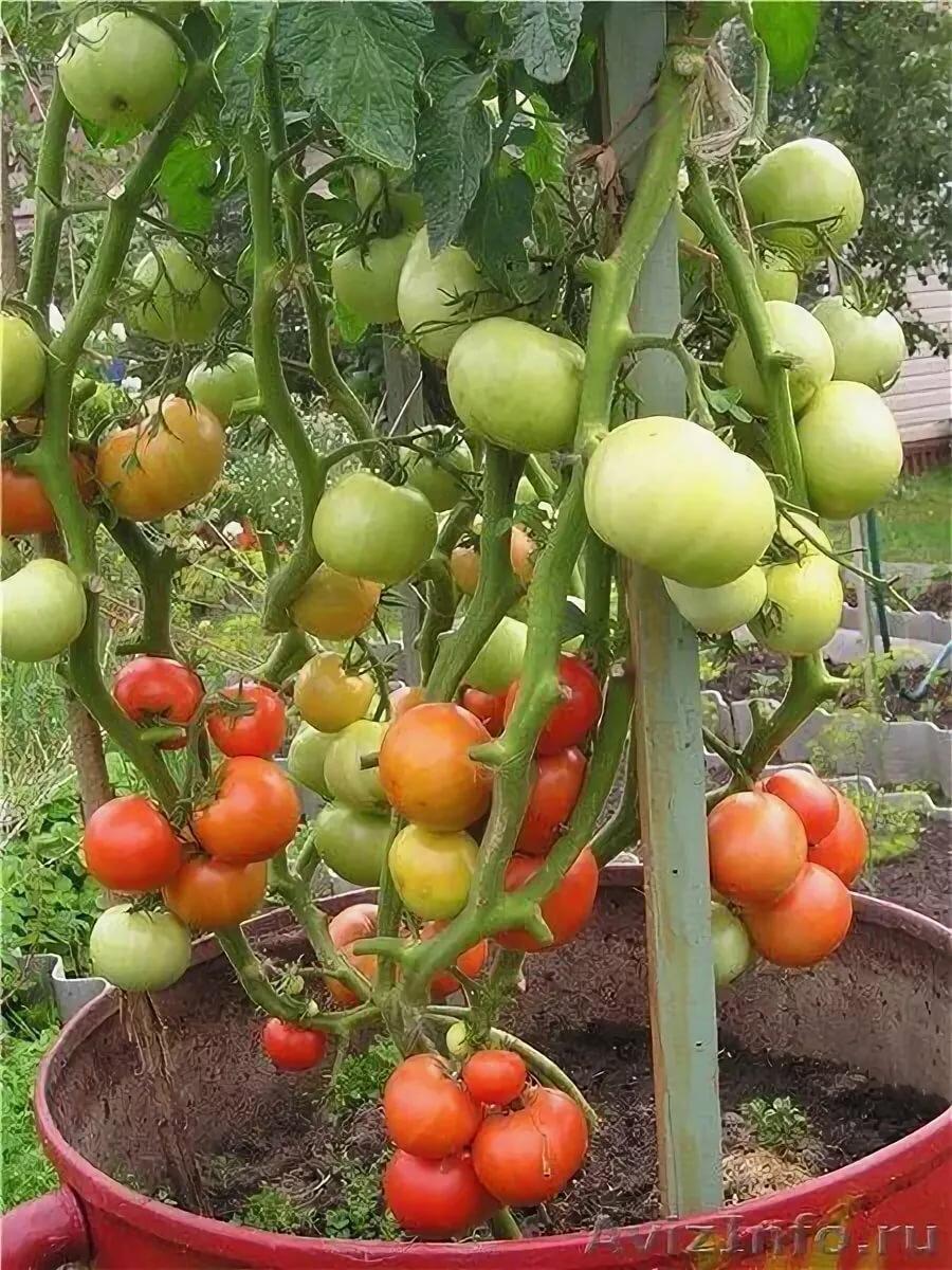 помидоры в бочках картинки патриотические конечно авторские