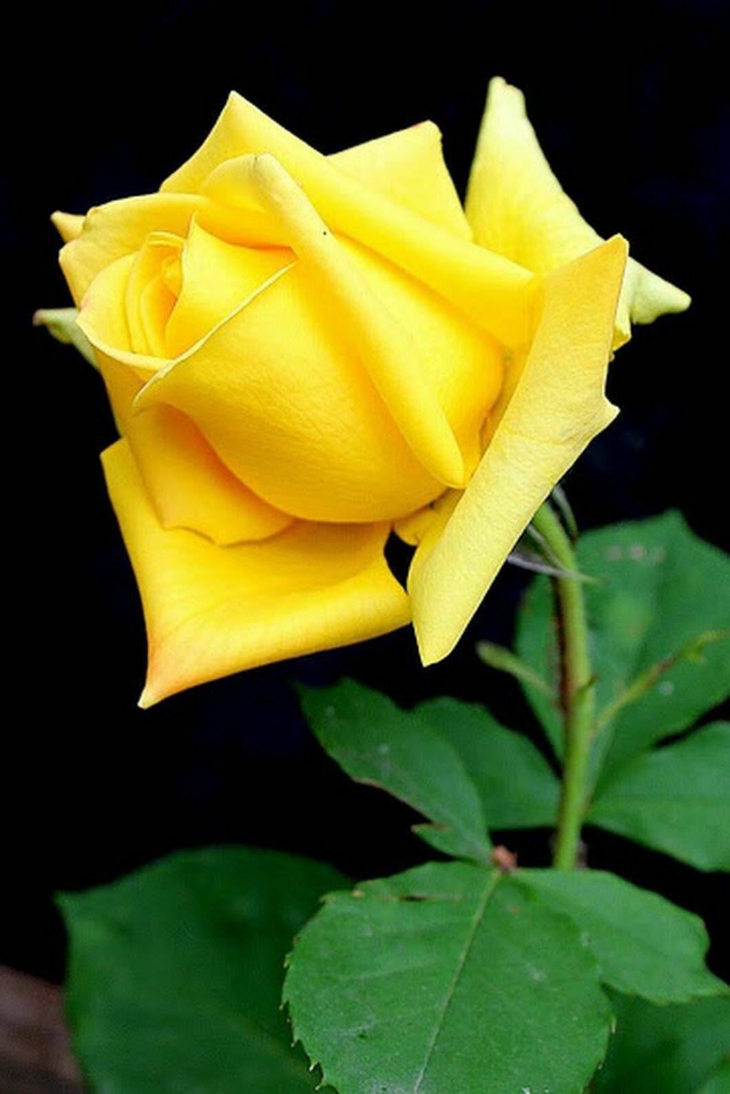 yellow love rose - 607×894
