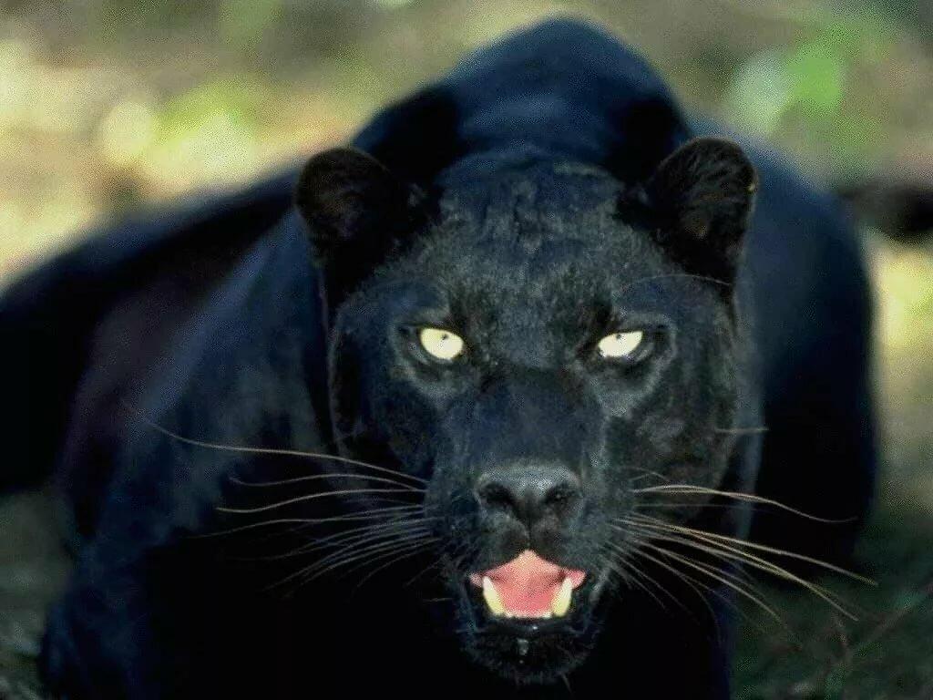 Красивые картинки пантеры