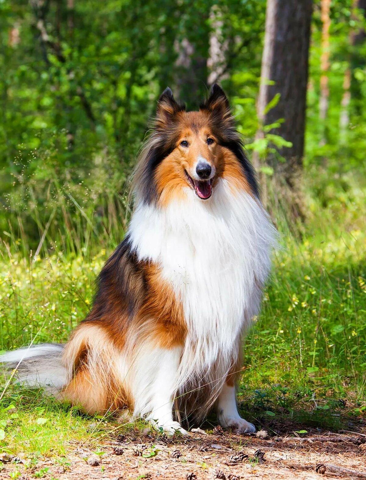 картинки пород собак колли днем рождения