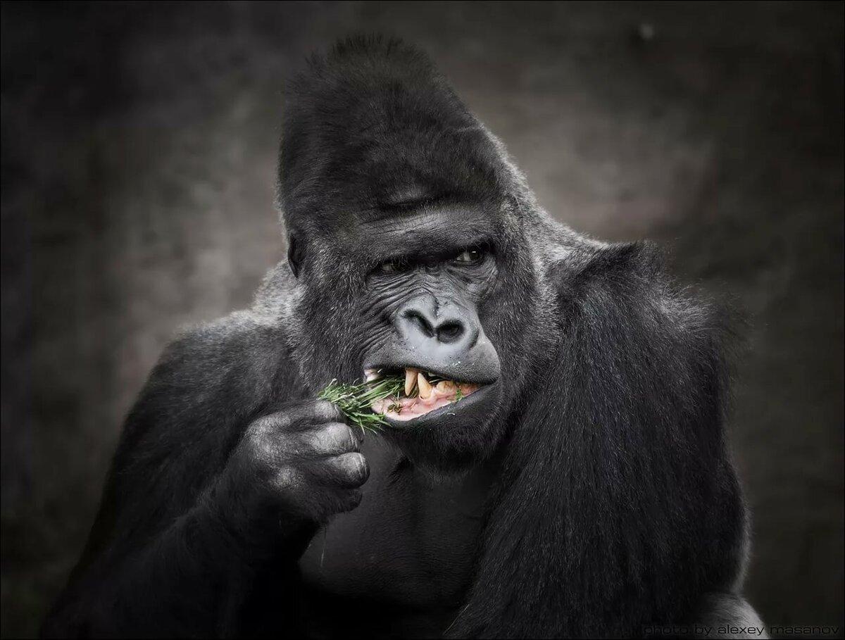 картинки гориллы приколы обращение