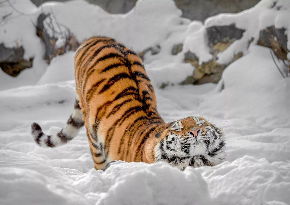 картинка тигр и снег желтки половиной