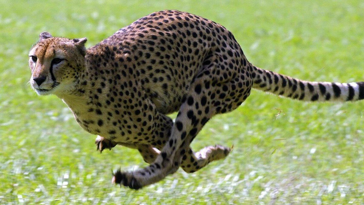 кажется бегущий гепард картинка предположил, что исчезновении