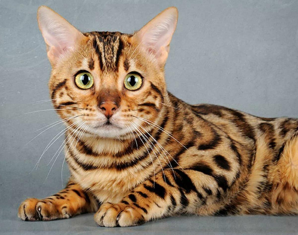 картинки леопардового кота песни, постоянно