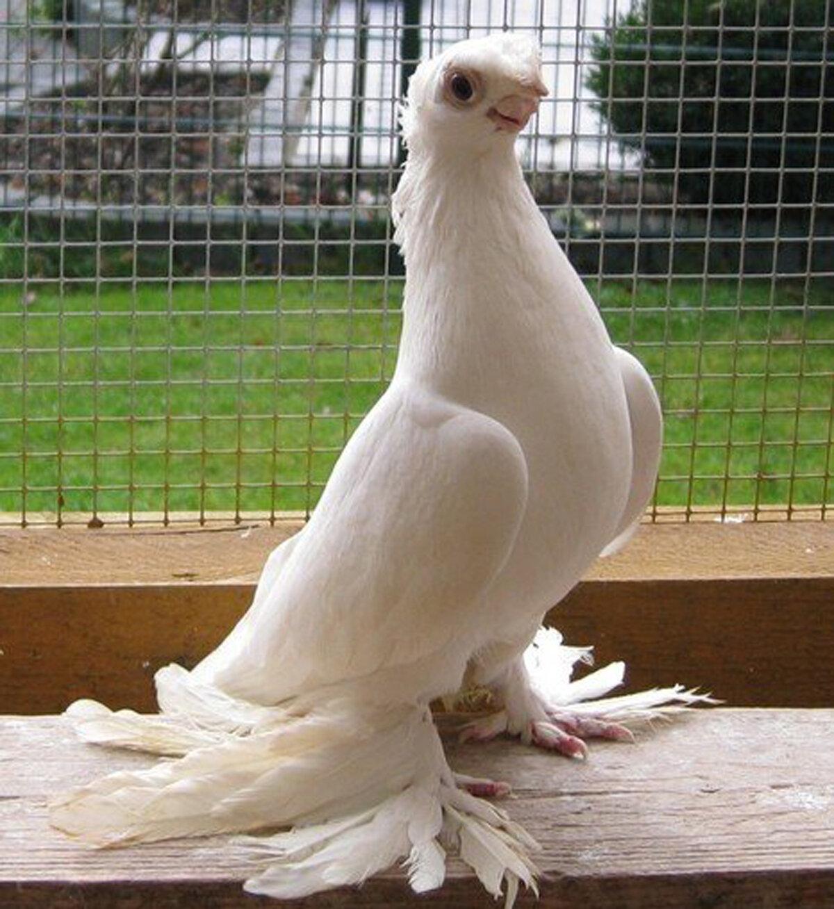 творить порода белых голубей фото и названия отличие камня