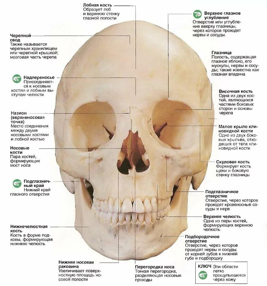 Череп человека анатомия в картинках
