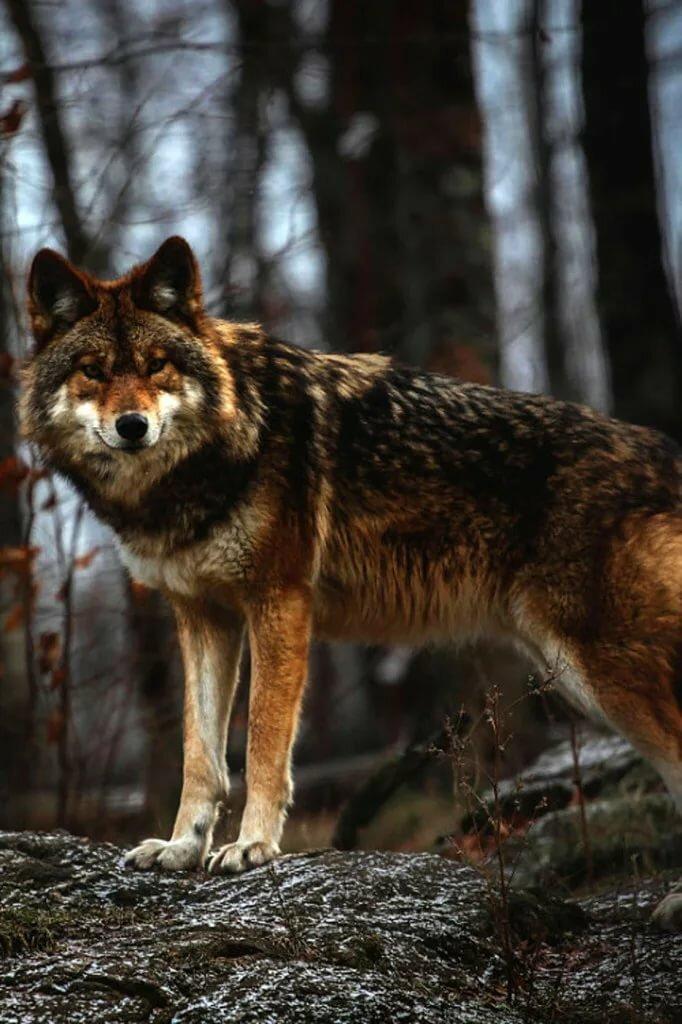 да, устарел шикарные фото русских волков берете