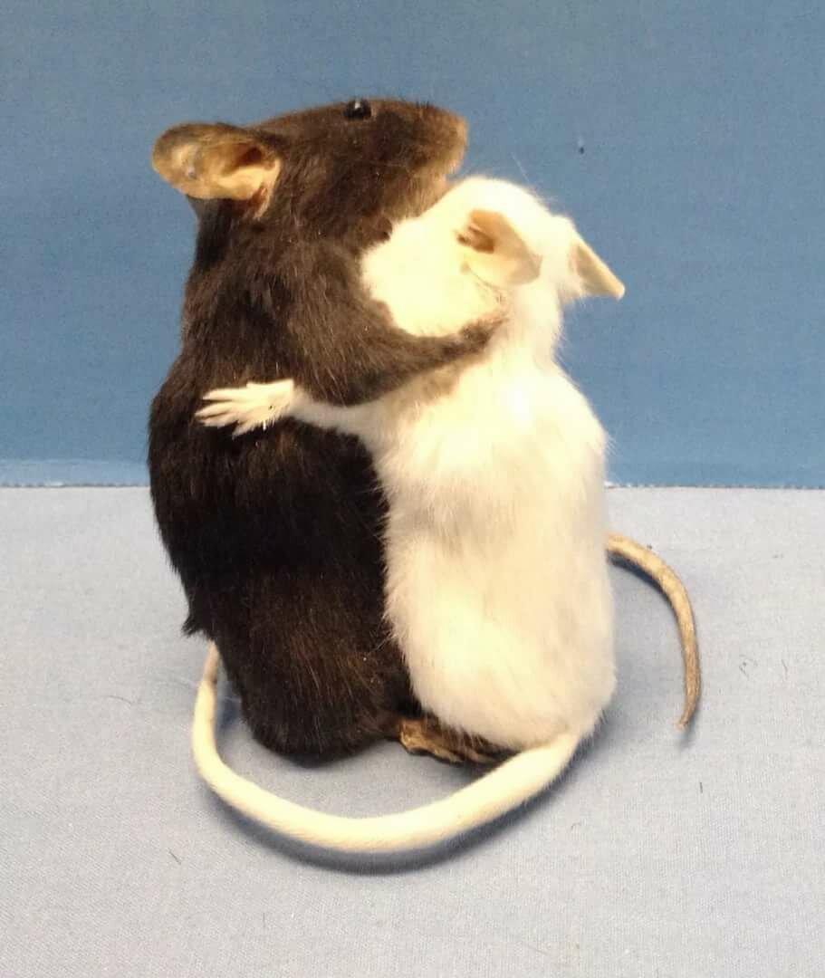 выглядит любимая крыса картинки интернет-ресурсов