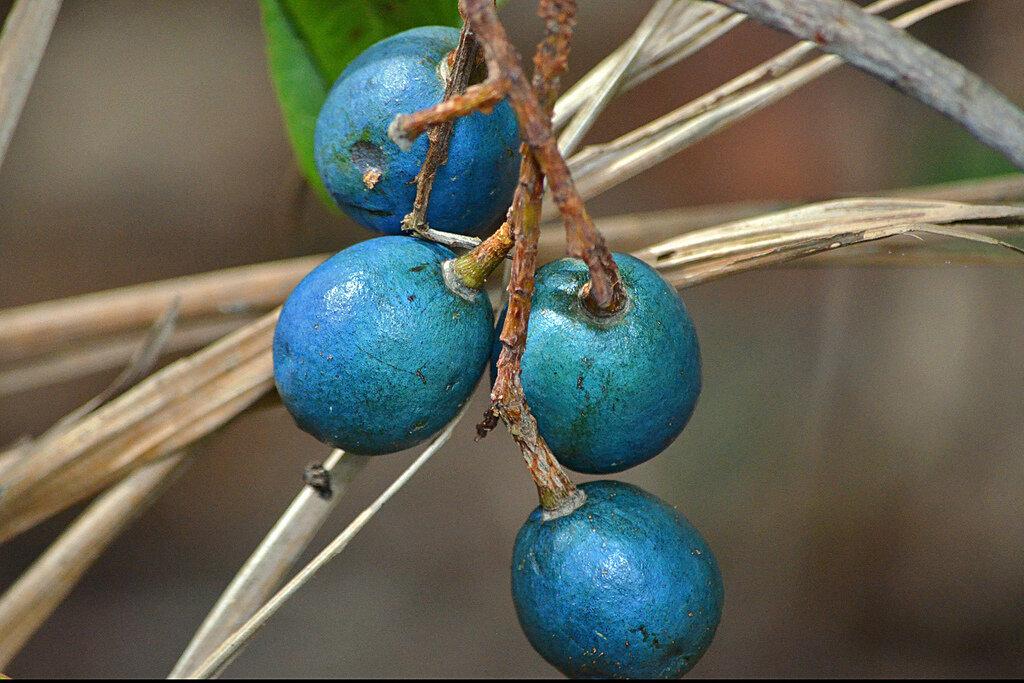 очень редкие тропические ягоды фото часто