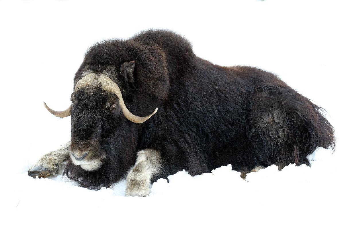 Картинка овцебыка распечатать