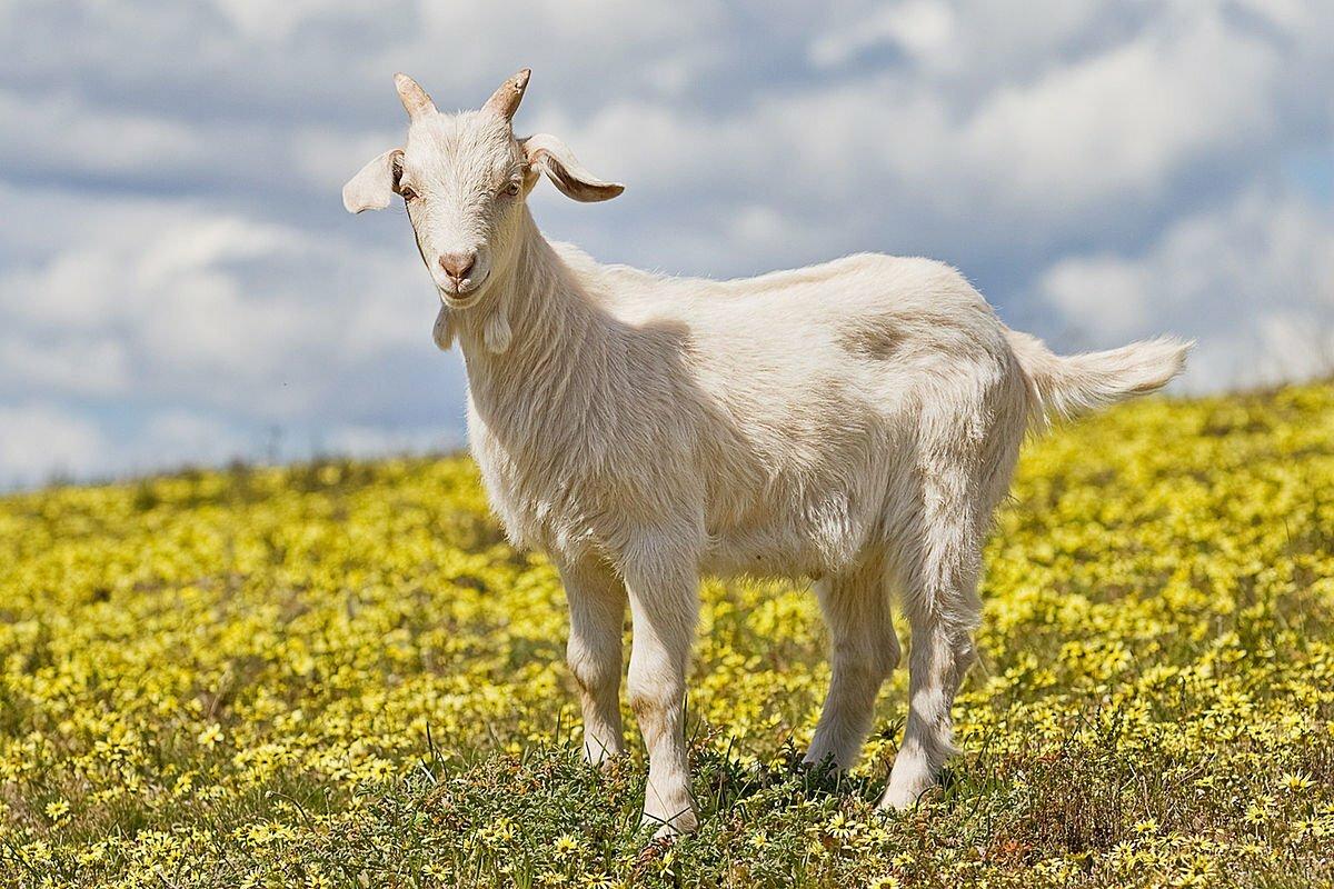 Картинки козы, черные белыми