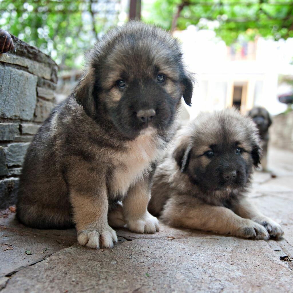 щенки собаки породы шарпланинская овчарка