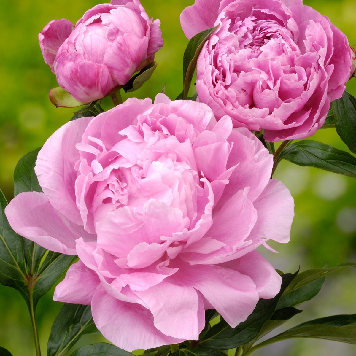 Красивый цветок пион картинка