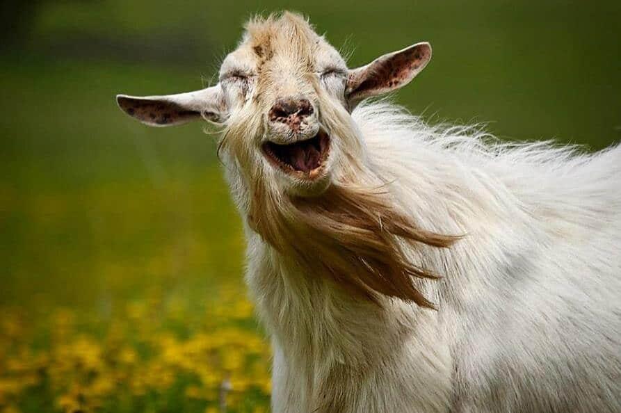 Картинка прикольной коза