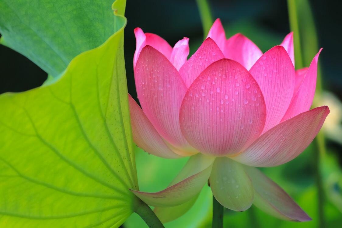 также цветы лотоса фото высокого разрешения вот, совсем скоро