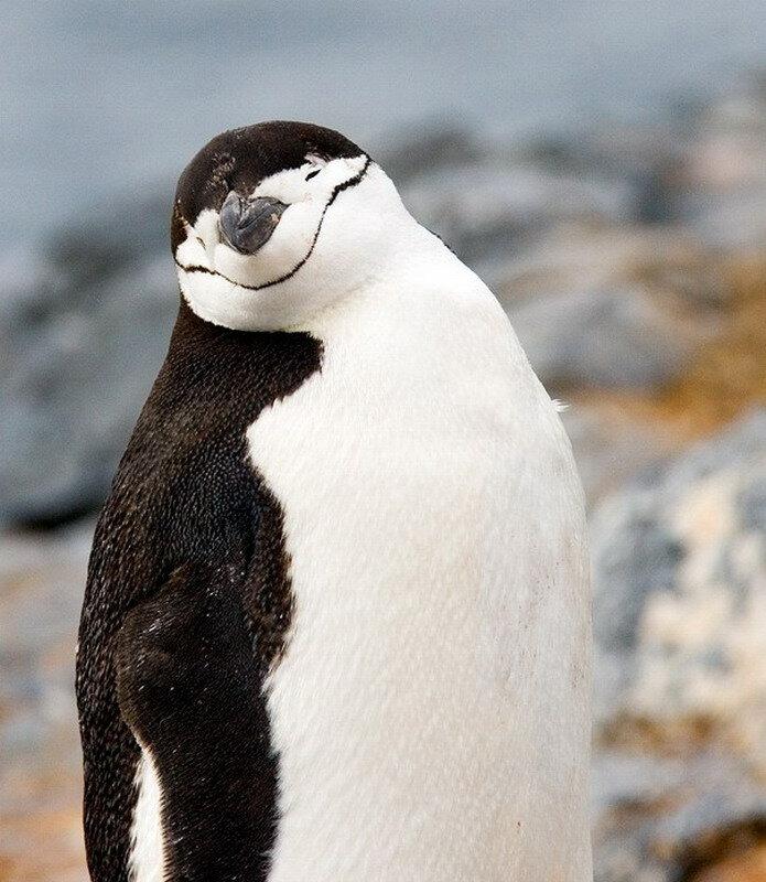 Картинки пингвинов прикольные, днем рождения прикольные