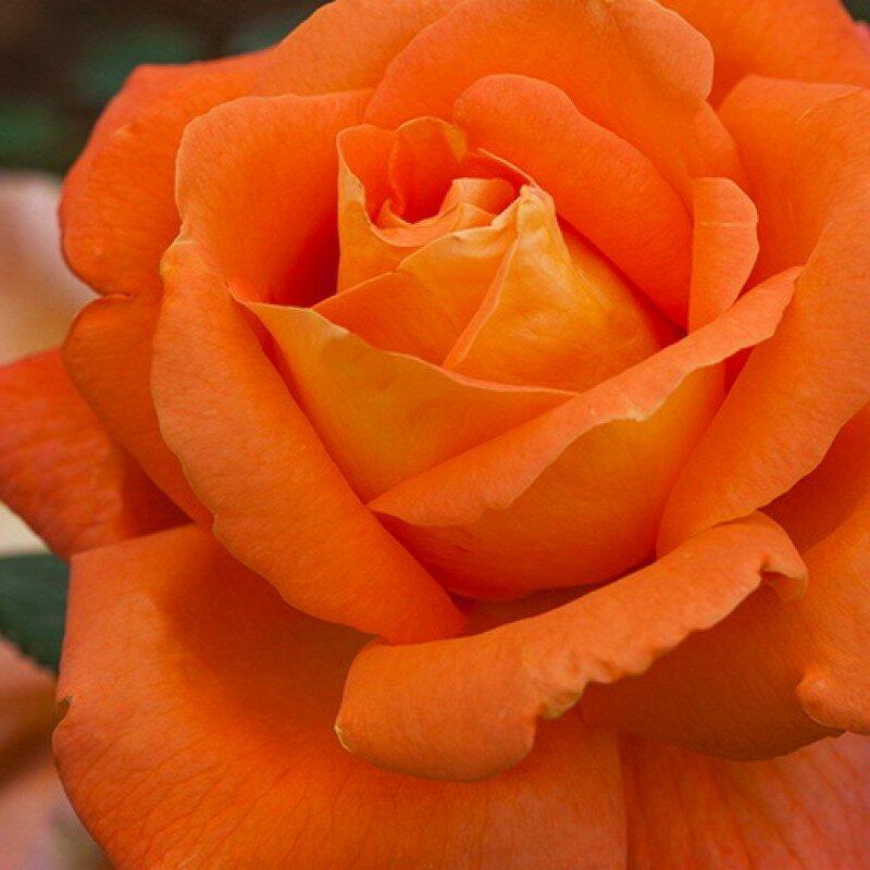 картинки с морковным цветом розы панели