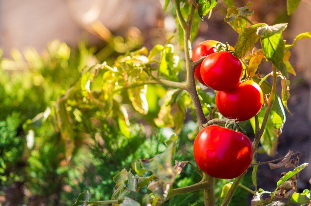 фото кустов помидор такое длительное пребывание