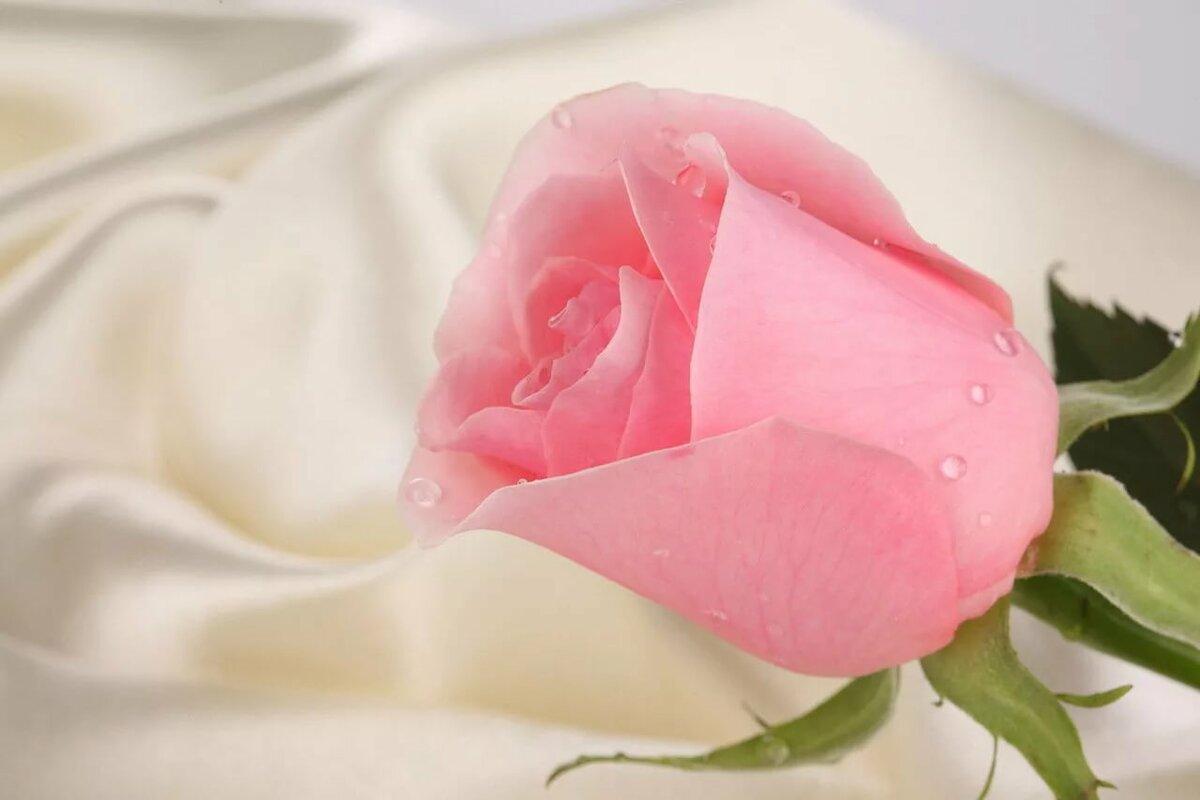 Открытка розовая роза, французском