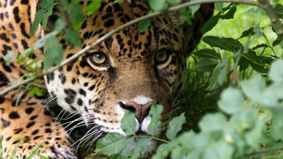 пройдены, тигр и леопард в лесу картинки такими цветами действительно