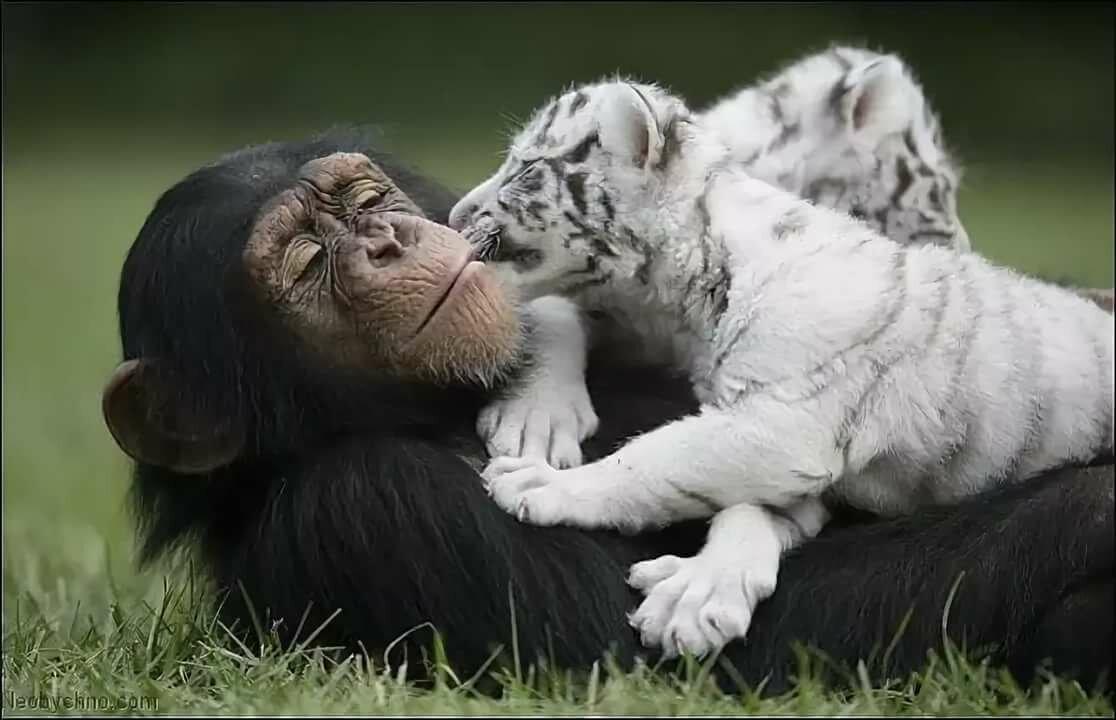 Картинки с собаками обезьянками тиграми, летием