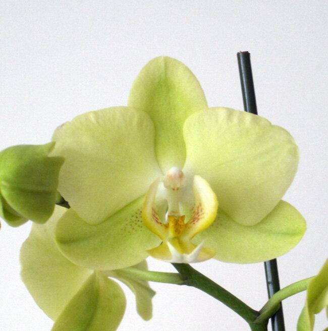 орхидея зелено желтая фото