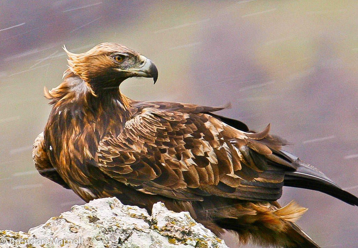 Птицы беркут где живут в какой стране