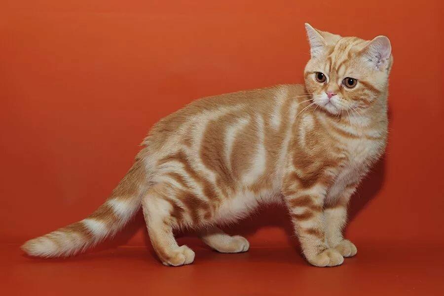 окрасы британских коты окрас картинки прекрасна