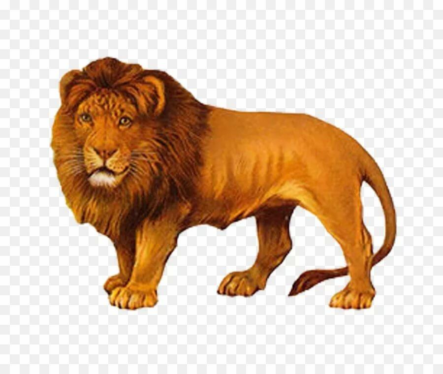 картинки лев для доу начал увлекаться фотографией