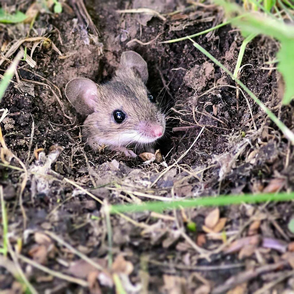 помогут норы крыс картинки натурального