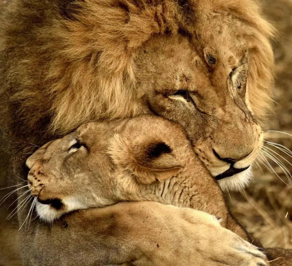 мультяшка картинка лев и львица мой лев певица руслана похвасталась