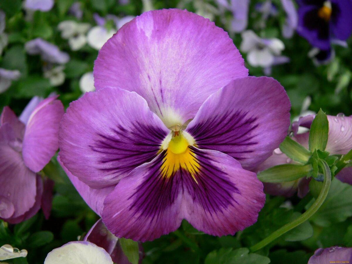 картинки анютины глазки фото цветов хорошего разрешения там