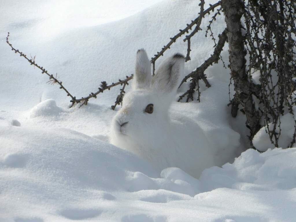 Картинка заяц зимой в лесу