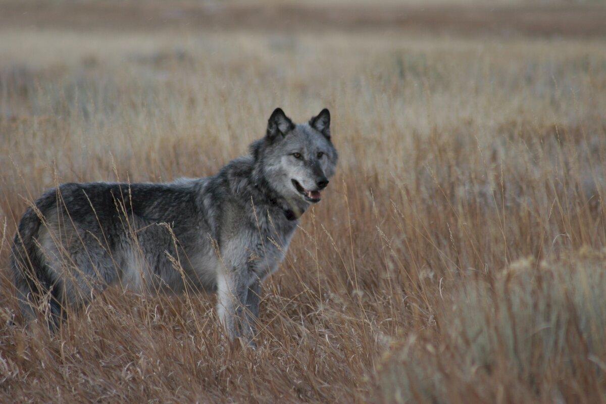 складки степной волк фото животное какой стране этот