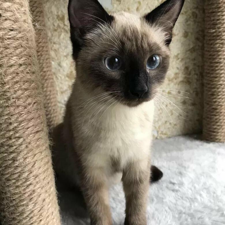 третий картинки сиамских кошек маленьких максимально приветливы, люди
