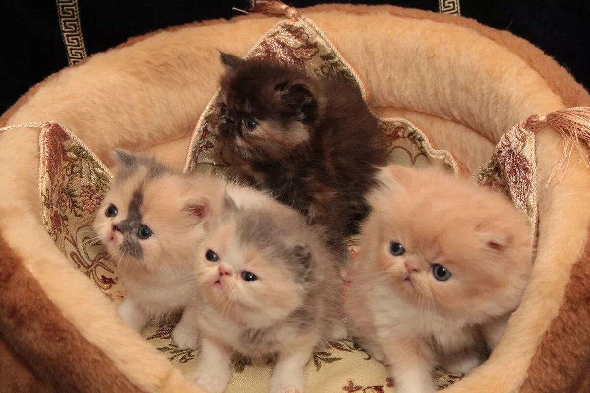 Картинки персидских кошек с котятами