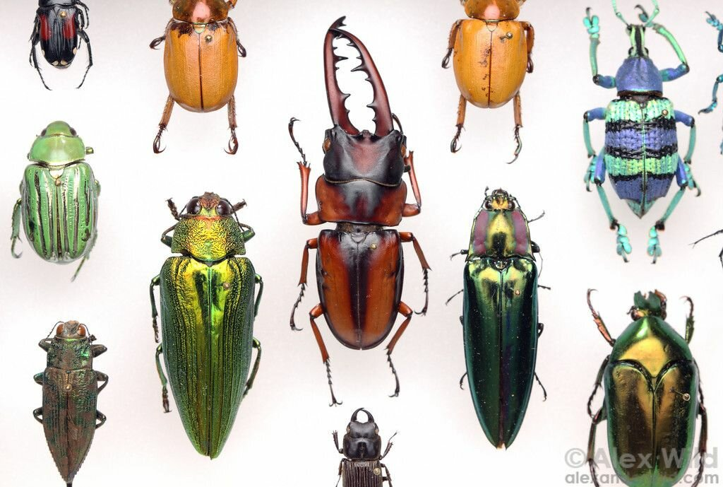 Все про жуков с картинками